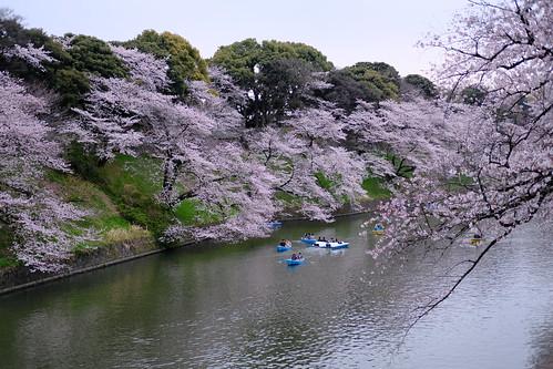 Velvia/vivid Sakura viewing at Chidorigafuchi moat 17
