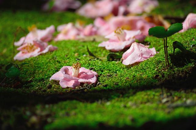 ツバキ Camellia -ミナトノハナ(港の華)