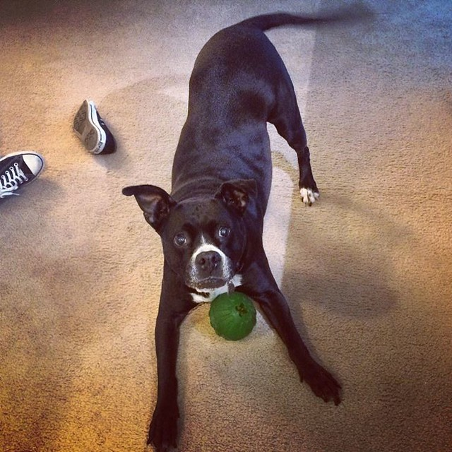 Ball #dogs #pitbulls #pitbullterriers #pitbullcomplaints