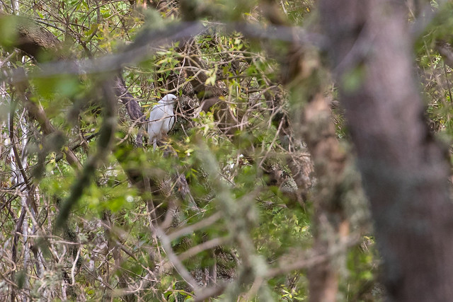 Grey goshawk (Accipiter novaehollandiae)