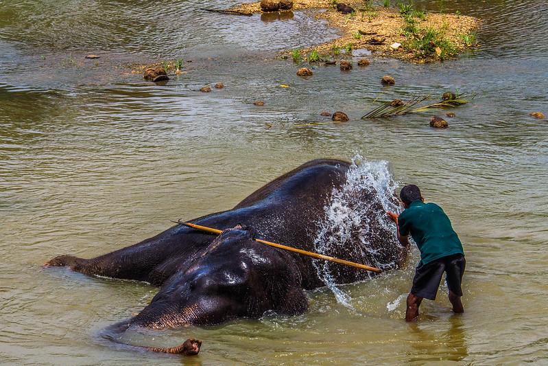 P4193319 Vagamundos 16 Sri Lanka Orfanato Elefantes Pinnawala