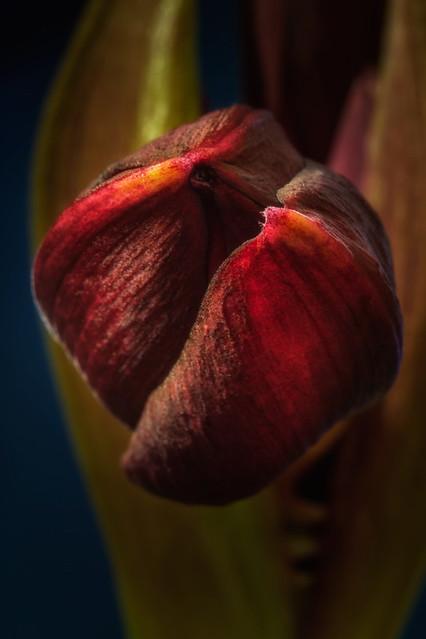 Amaryllis Black Pearl bouton floral-9173