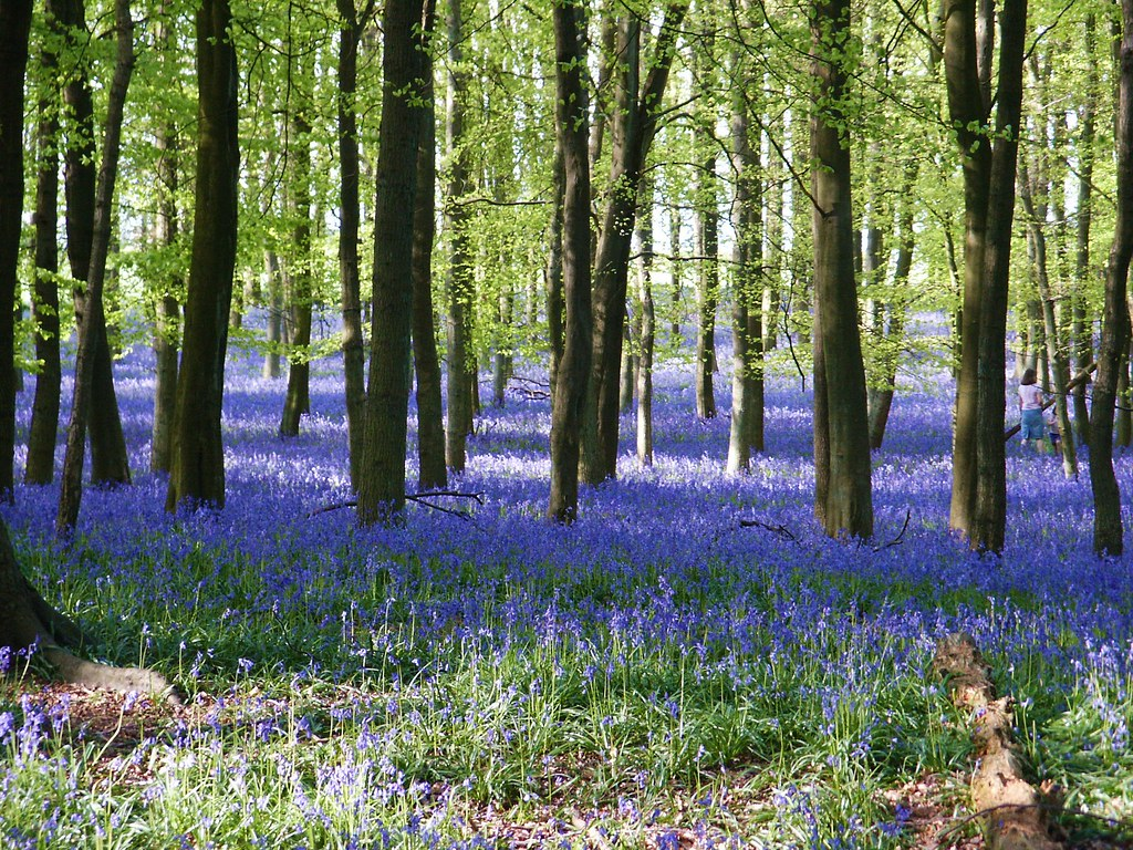 Bluebells in Buckinghamshire, England. Photo credit Keith Hulbert and Paul Zarucki