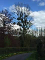 Mistletoe - Photo of Pierrefitte-en-Auge