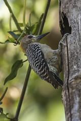 Hoffman's Woodpecker - Zamora Estate - Costa Rica_MG_5754