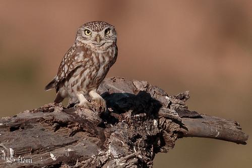 Little Owl - 4