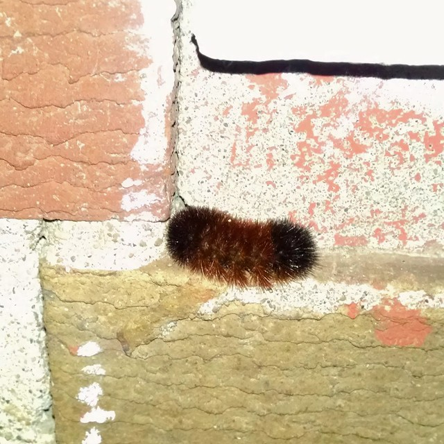 Wooly worm.