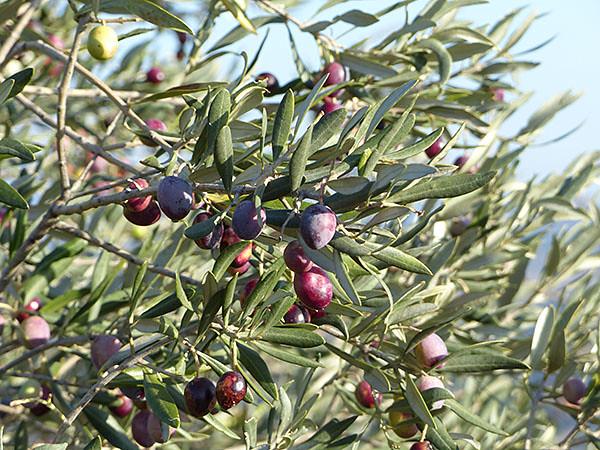 des olives