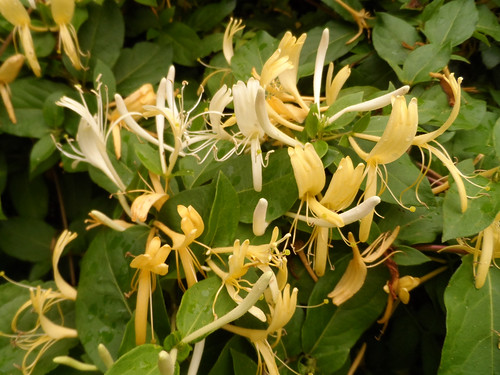 Honeysuckle - Japanese