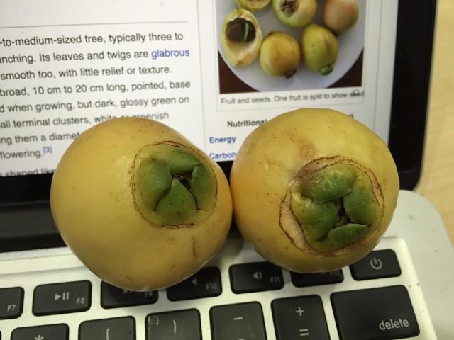 Paneer hannu (Syzygium jambos - フトモモ)