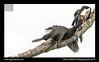 Little Pied Cormorant 12