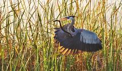 Great Blue Heron w/ Banded Water Snake . . SonyA580