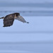 Northern Harrier by fred h