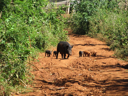 Parc National de Viñales: euuuh que fait-on quand on se trouve sur la route d'une maman cochon et de ses petits?