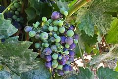 Vina Undurraga - Carmenere grape