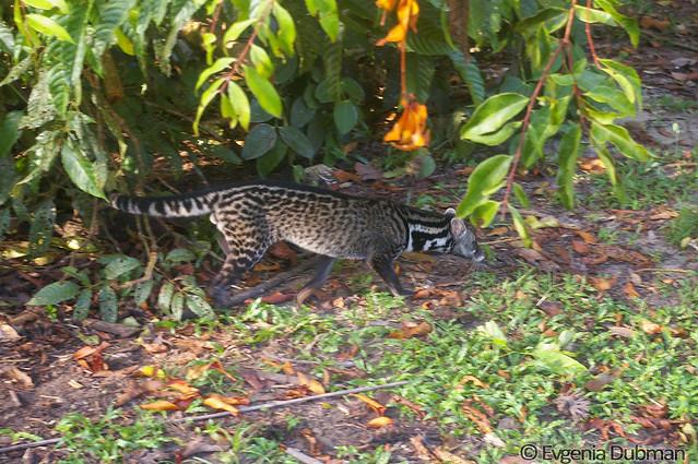 13 - Malayan Civet (Viverra tangalunga)_ED_wm