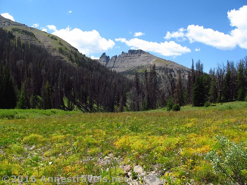 Yellow wildflowers and one of the Pinnacle Buttes from the Bonneville Pass Trail, Shoshone National Forest, Wyoming