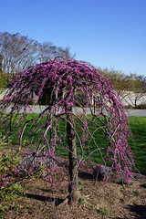 Cercis canadensis Covey™ 'Lavender Twist' (weeping redbud)