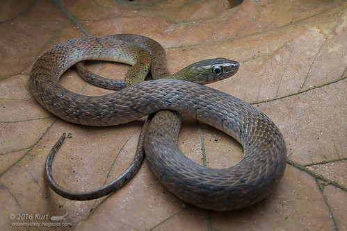 Xenochrophis trianguligerus_MG_1516 copy
