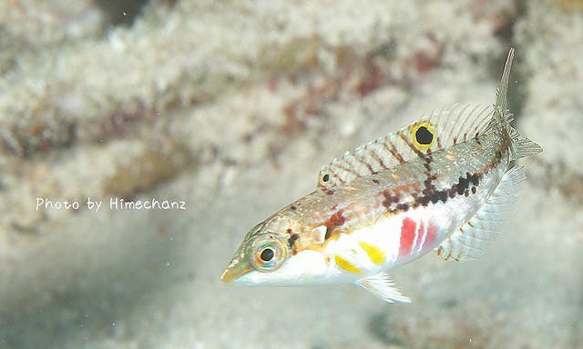 イナズマベラ幼魚