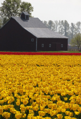 La Conner's Tulip Fields