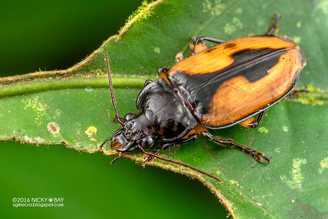 Ground beetle (Orthogonius sp.) - DSC_7476