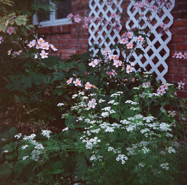 Japanese Anemones with Cilantro