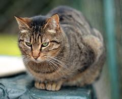 Katten uit Hérault