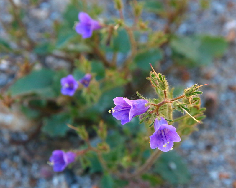 IMG_3517 Canterbury Bell, Anza-Borrego Desert State Park