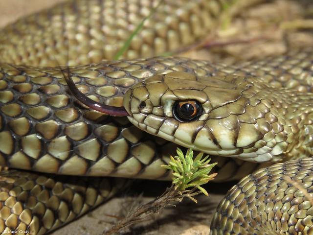 Parejera (Philodryas patagoniensis)