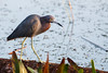 Little Blue Heron by Bill McBride Photography