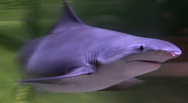 New Guinea river shark