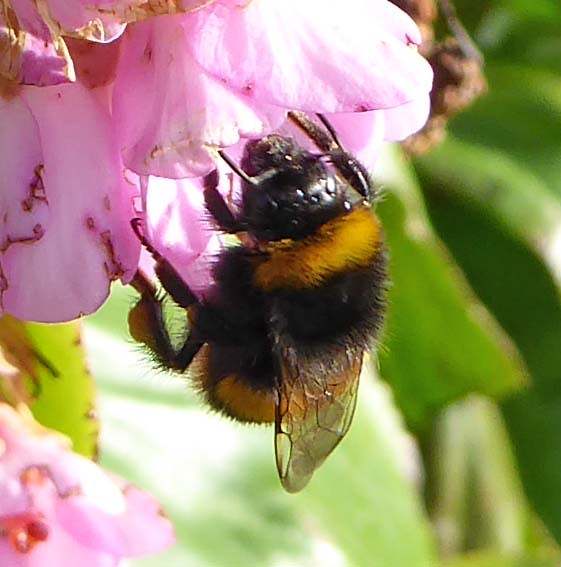 buff-tailed bumblebee worker 3