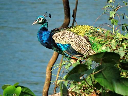 nature birds peacock kerala kollam peafowl naturephotography indianpeafowl pavocristatus birdsofindia thenmala bluepeafowl birdsofkerala മയിൽ birdsofkollam shenthuruniforest ചെന്തുരുണി