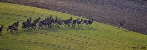 red male nature field animal mammal stag outdoor running deer cervus elaphus rothirsch tolna gímszarvas emlős regöly szarvasbika