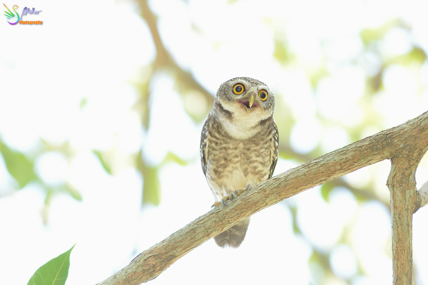Spotted_Owlet_2826