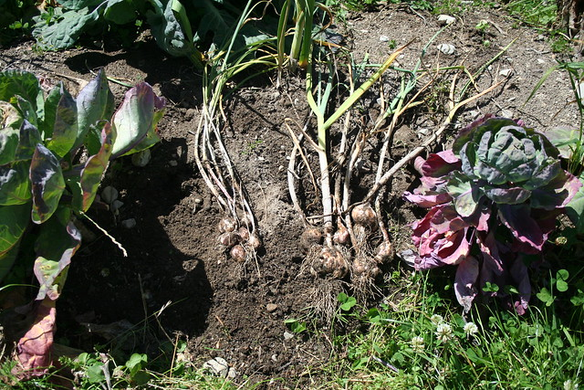 Garlic, Takahue - 2016-01-22 - 06 - Last years survivors dug