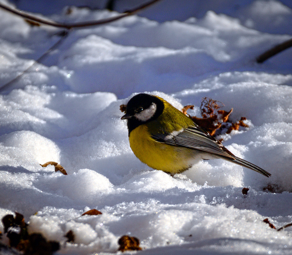 Winter tit