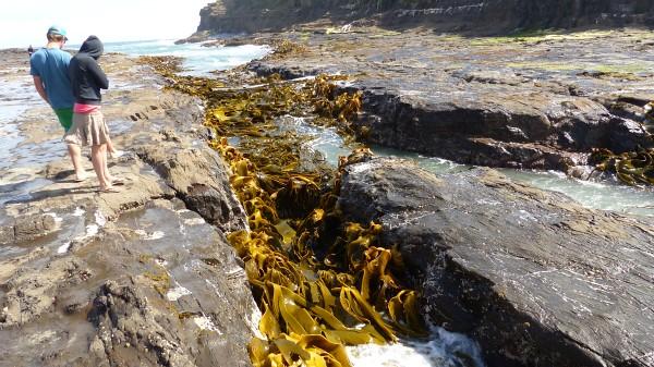 Les algues géantes