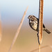 Song Sparrow 7D619236 by Melissa Kung