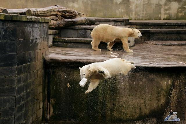 Eisbär Fiete im Zoo Rostock 12.03.2016   0149