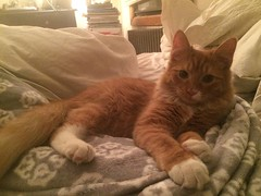 Vortex is a 6 month old tornado in the shape of a fluffy orange kitten. He is looking for a foster or permanent home, preferably with similarly playful cat. When not wreaking havoc he loves to cuddle! Email us at bushwickstreetcats@gmail.com #adoptthiskit