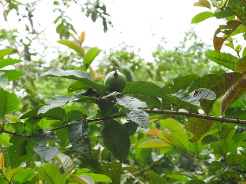 Topes de Collantes: un arbre à guavas