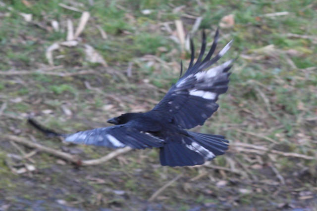 Crow with partial albinism in flight
