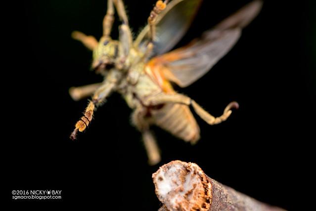 Longhorn beetle (Dystasia cf. circulata) - DSC_6934