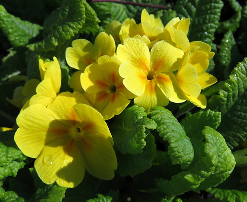 This yellow primula was part of the 'Hot Colour' border The Japanese garden at the Washington State University 'Discovery Garden'