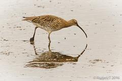 20160409-ROTL2633 Curlew Titchwell RSPB Reserve North Norfolk.jpg