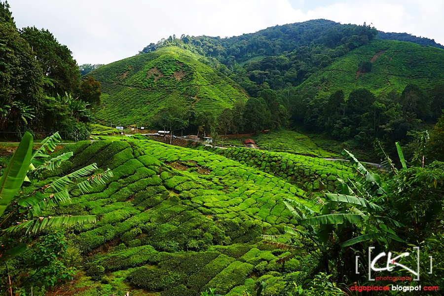 Cameron_Highlands_023