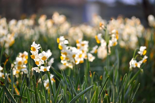 スイセン Narcissuses (6)