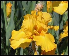 Iris 'Terre de Feu' - Richard Cayeux 1997 23892579820_b55c4a6f42_m